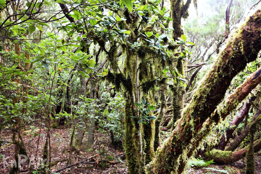 Лавровый реликтовый лес Тенерифе