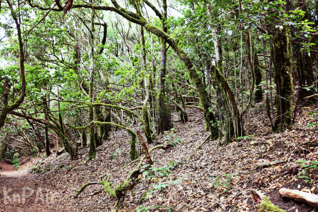 причудливый лес на Тенерифе