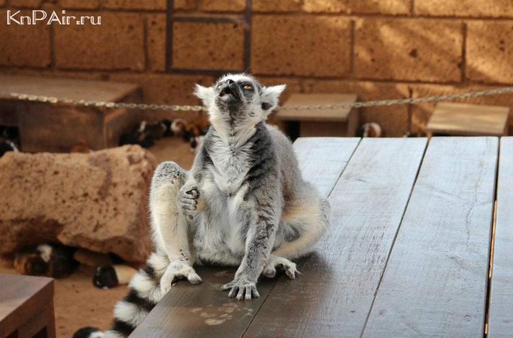 Lemury-v-manki-parke