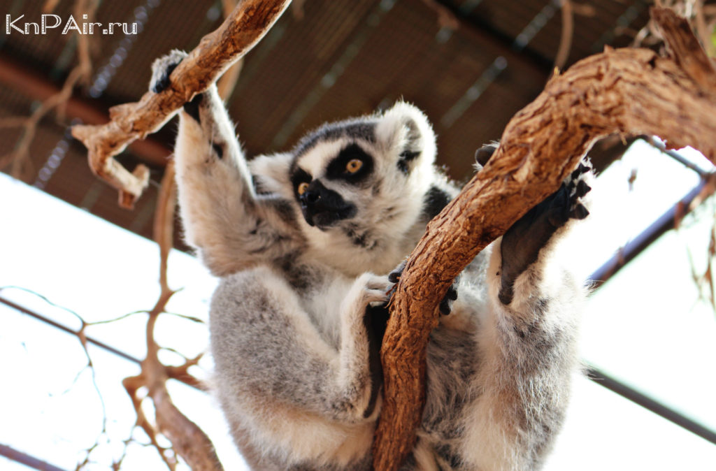 tenerife-lemury