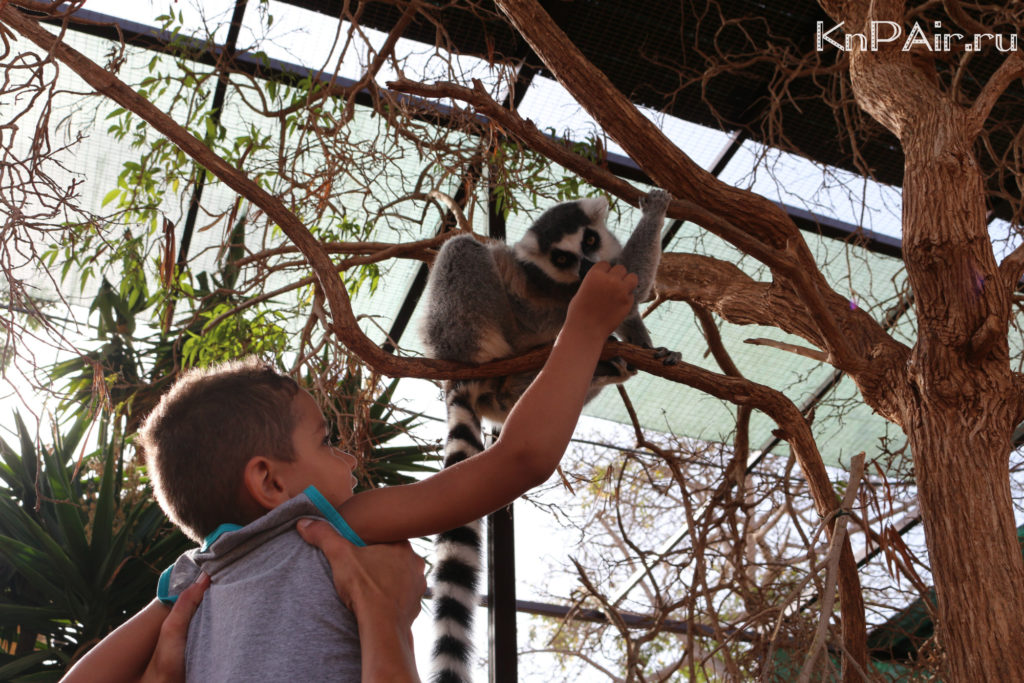 kormit lemurov s ruk tenerife s detmi