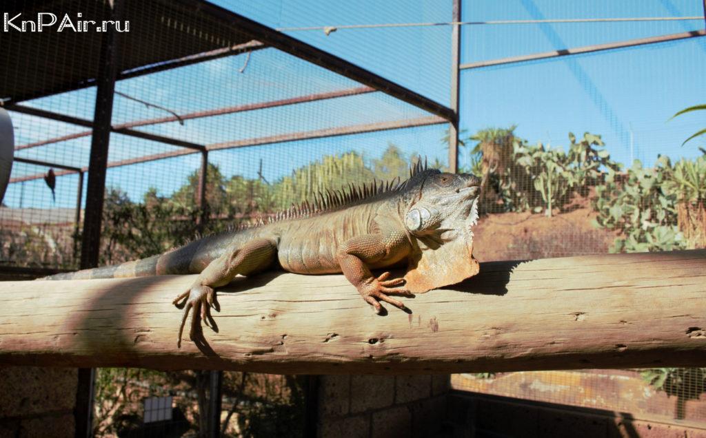 iguana v manki parke