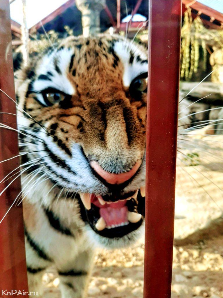tigr-v-minskom-zooparke