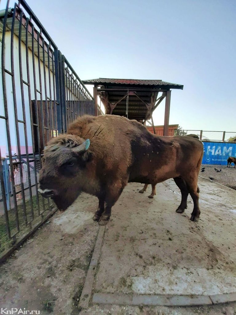 bison-in-the-minsk-zoo
