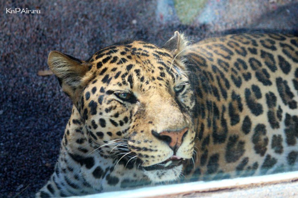 leopard-na-tenerife